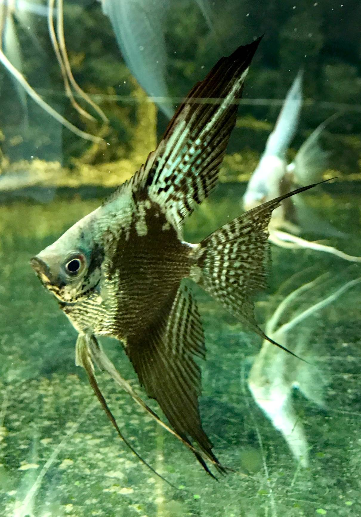 "Pterophyllum scalare ""Pinoy Blue Chocolate Pearl Veiltail"""